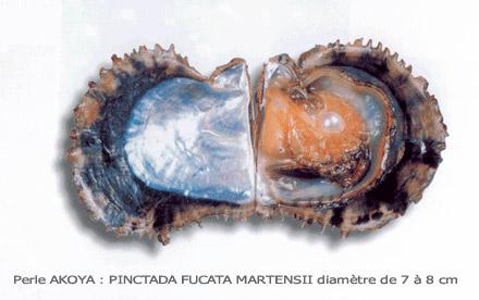 Mollusque : Pinctada fucata