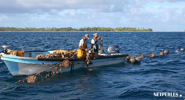 Travail dans les fermes perlieres de polynesie francaise